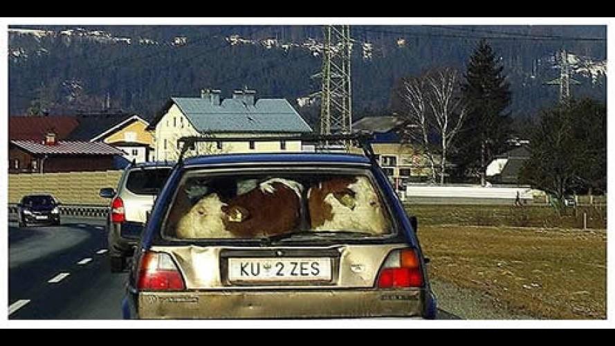 Motoristas são flagrados levando cavalos e bezerros dentro de carro na Europa