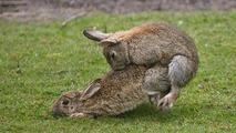 Forceful rabbit copulation 12.09.2013